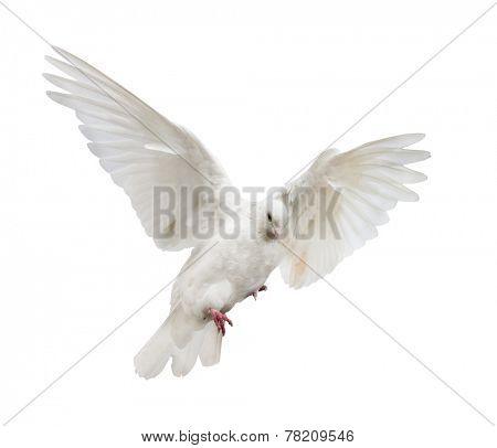 photo of flying dove isolated on white background