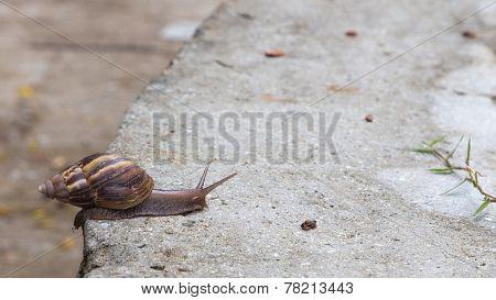 Seychelles Snail