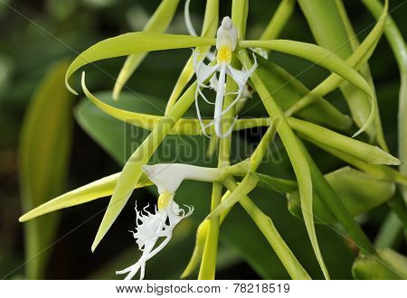 Fringed Star Orchid