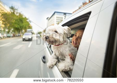 Young dog maltese sitting in a car and looking through open window