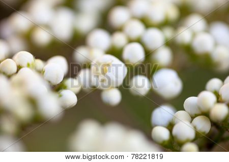 Tiny Buds Of Rowan White Flowers