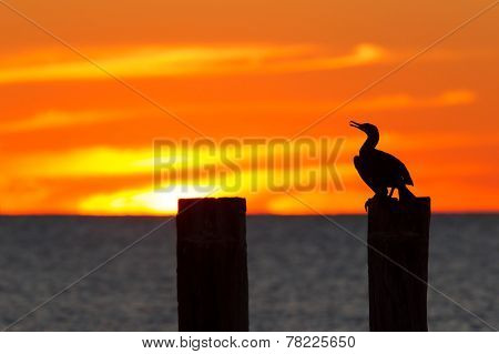 A Cormorant perched with a sunset.