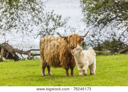 Family on the Meadow - Scottish Cattle and Calf