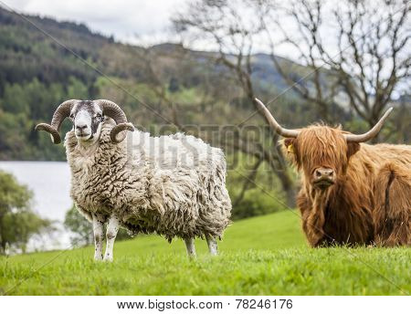Horns and Horns - Sheep and Cattle, Scotland