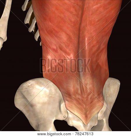 skeleton latissimus dorsi