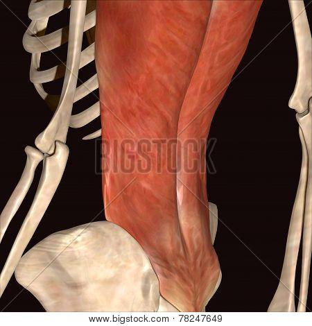 skeleton ribs back