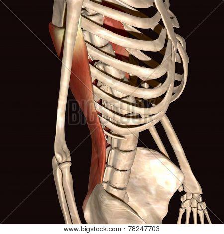 skeleton ribs back bone muscles