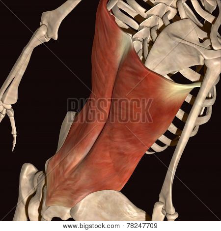 human back bone