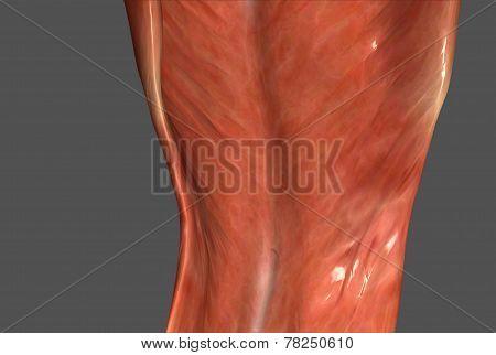 human body muscle