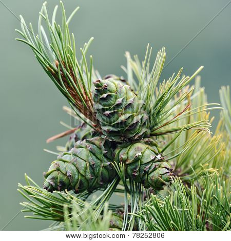 Pine Branches With Green Cones