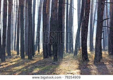 morning mist in pine forest