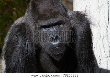 Photo of a Silverback Gorilla Face Up-close