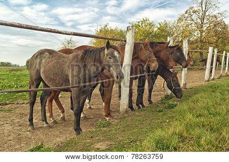 Beautiful Horses On The Farm Ranch