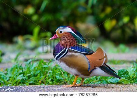 Beautiful Male Mandarin Duck