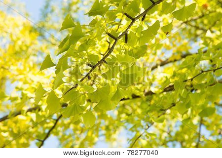 Yellowish Green Ginkgo Leaves