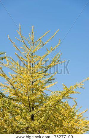 Ginkgo Leaves In Fall