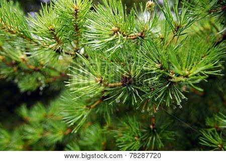 Green Fir With Drops