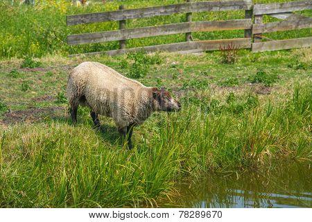 Ewes Of Shropshire