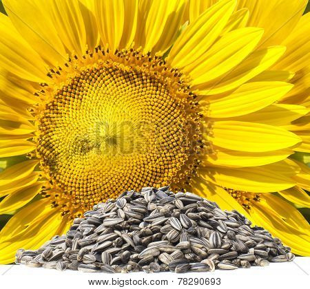Close Up Yellow Sunflowers And Dry Seed On White Background Use For Clean And Organic Food Sunflower