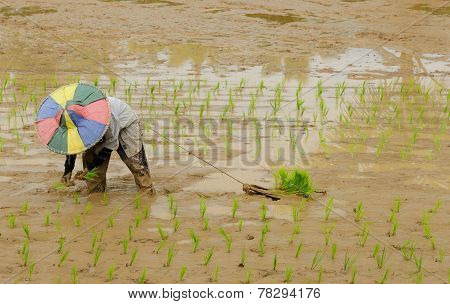 Indonesia, Rice Workers