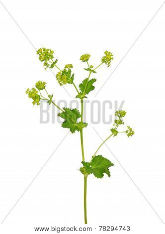 Smooth Lady S Mantle (alchemilla Glabra)