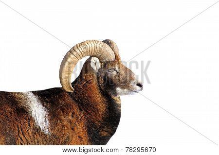 Big Mouflon Ram Portrait Over White