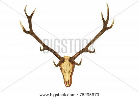 Big Stag Hunting Trophy