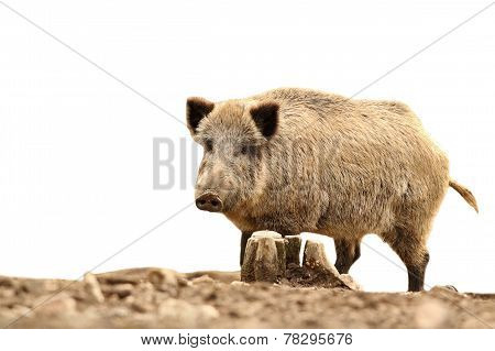 Big Wild Boar On White