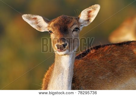 Fallow Deer Doe Portrait Looking At Camera