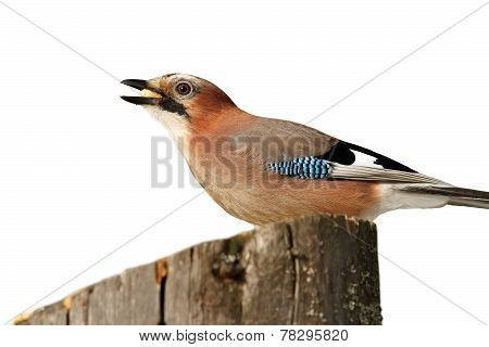 Isolated Eurasian Jay On A Stump