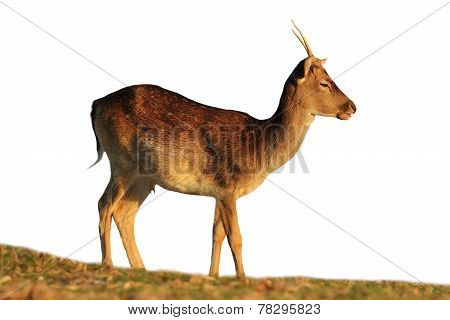 Isolated Fallow Deer Buck