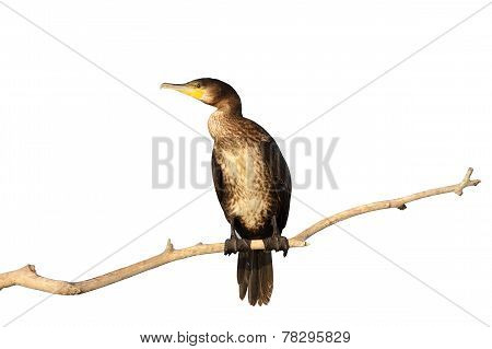 Isolated Great Cormorant