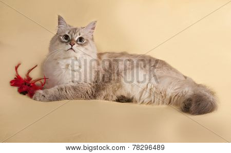 Siberian Cat Seal Point Lies On Yellow With Toy