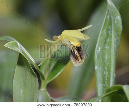 Ocher Yellow Coelogyne Orchid