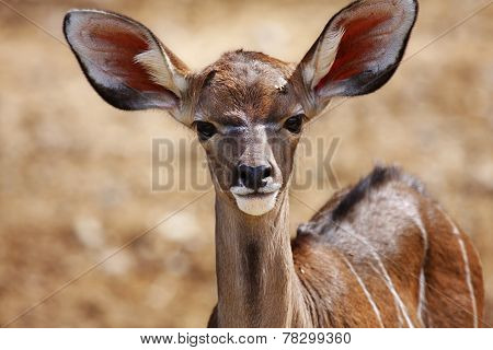 Young Impala Antelopes