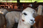 image of alpaca  - close up face of alpaca in farm - JPG