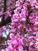 stock photo of judas tree  - blooming redbud judas tree - JPG