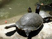 picture of terrapin turtle  - Turtle craning on the sun - JPG