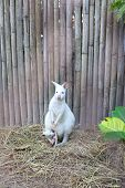 stock photo of wallabies  - Albino Wallaby With Baby in the natural - JPG