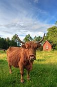 stock photo of highland-cattle  - An highland cow in the Swedish countryside on the national Swedish holiday  - JPG
