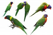 picture of lorikeets  - Set of rainbow lorikeet birds isolated on white background - JPG