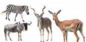 stock photo of wildebeest  - Set of zibra antelope wildebeest deer animal isolated on white - JPG