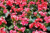 stock photo of begonias  - Beautiful background of flowers big begonias in garden  - JPG