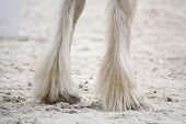 stock photo of shire horse  - Shire horse furry front legs close up