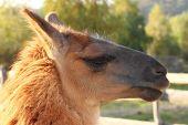 pic of lamas  - spitting lama  - JPG