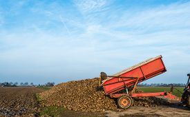 picture of dumper  - A red dumper pulled by a tractor dumps sugar beets on a heap beside the field awaiting transport to the sugar factory. ** Note: Soft Focus at 100%, best at smaller sizes - JPG