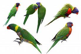 foto of lorikeets  - Set of rainbow lorikeet birds isolated on white background - JPG