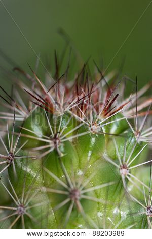 Ornamental Cactus Background