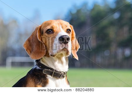 Portrait of Beagle close-up.
