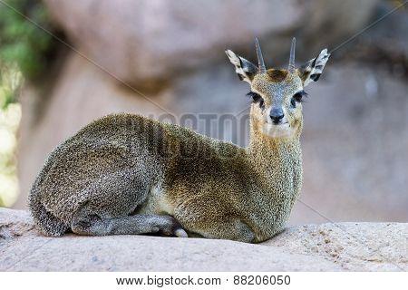 Klipspringer - Oreotragus Oreotragus)